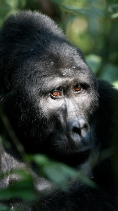 Uganda - In Search Of The Great Apes
