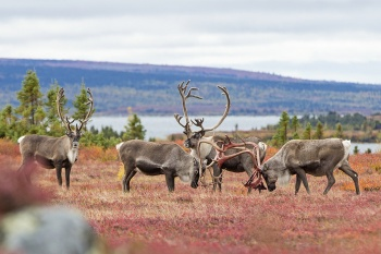 Caribou, Wolves and Northern Lights