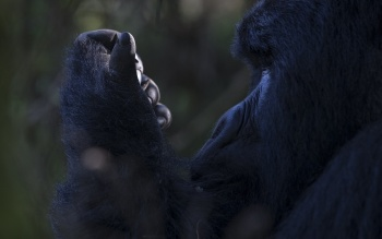 In Search of the Great Apes